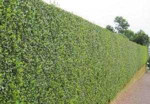 hedge-cutting-maintenance-blackheath